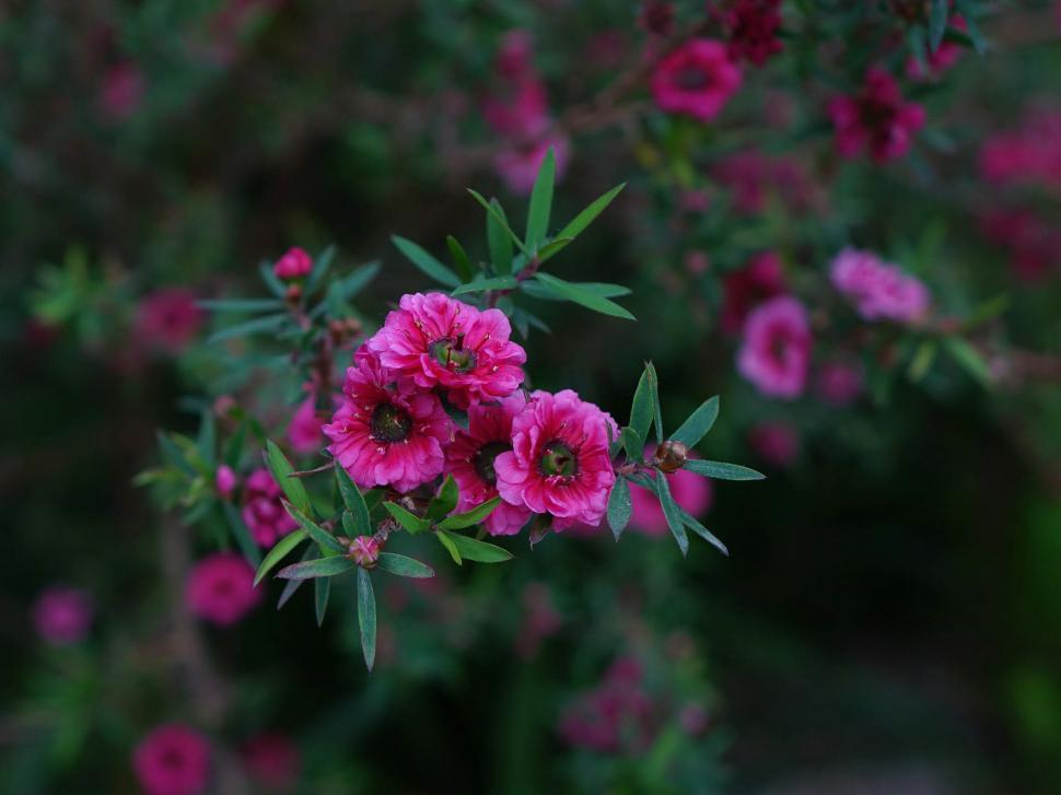 Download Free Stock Photo of Makuka flower