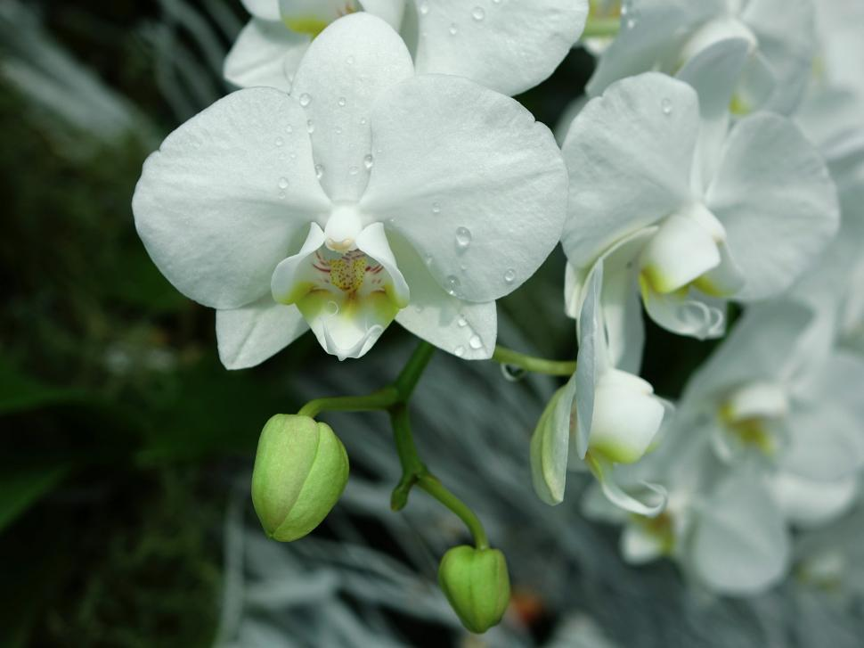 Download Free Stock Photo of Wet White Orchids