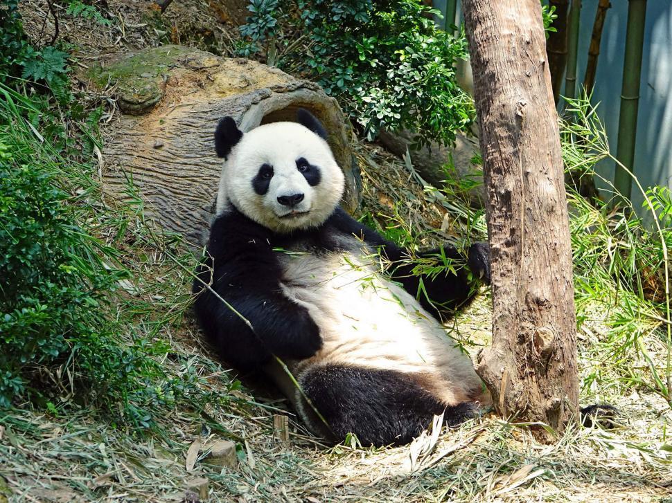 Download Free Stock HD Photo of Wild Panda Online