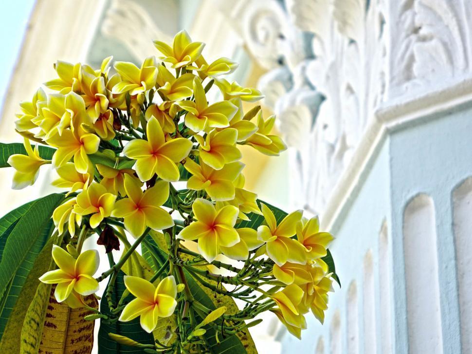 Download Free Stock HD Photo of Fresh Plumeria Online
