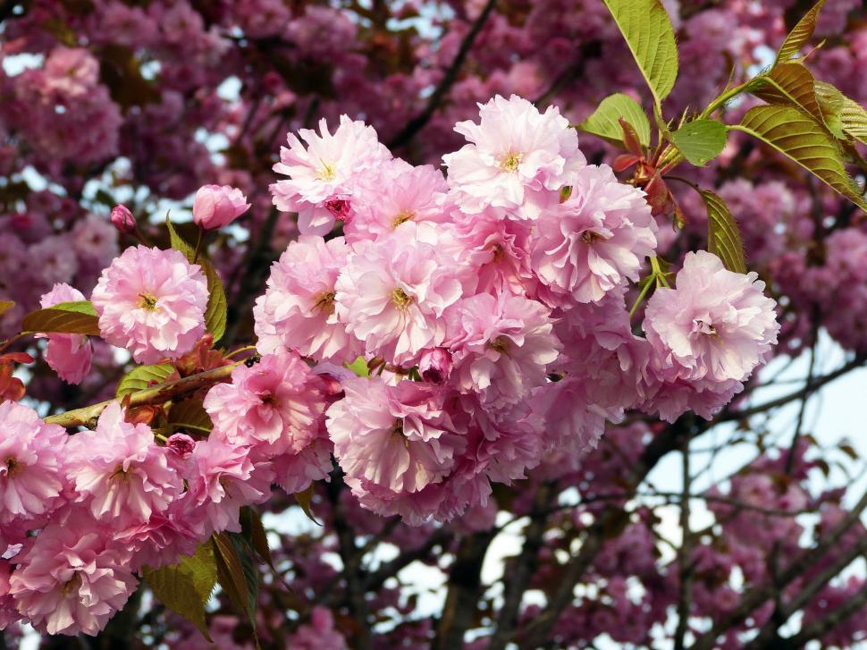 Download Free Stock Photo of Fresh Sakura Flowers