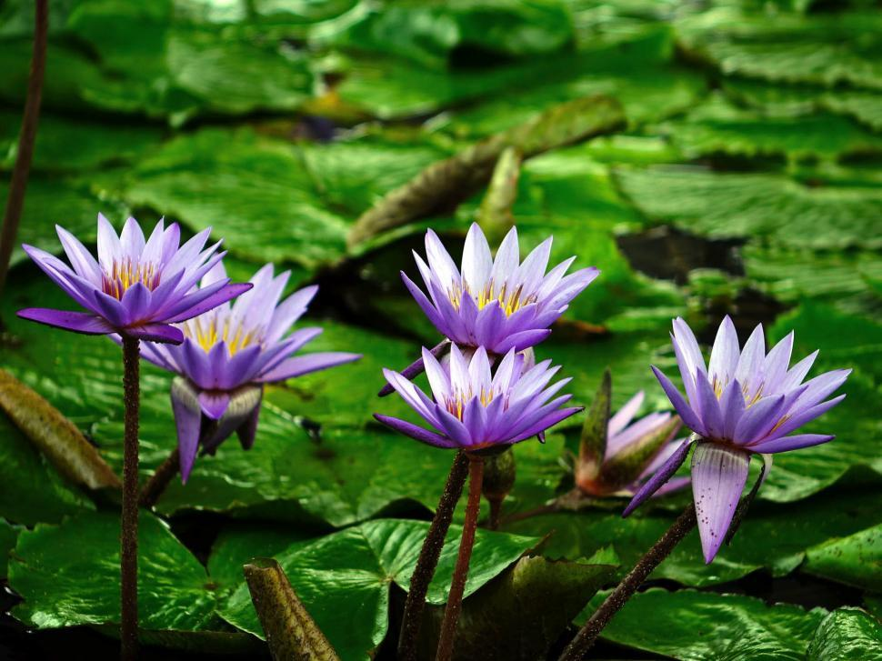 Download Free Stock HD Photo of Water Lily Online