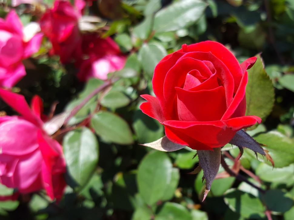 Download Free Stock Photo of Red Rose Flower