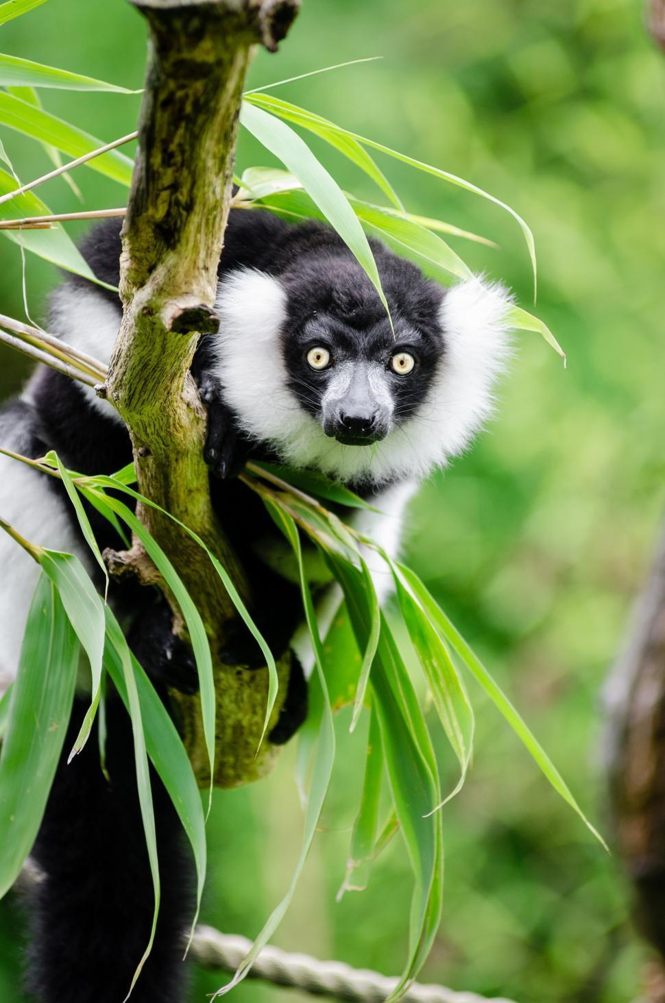 Download Free Stock Photo of lemur indri primate madagascar cat mammal