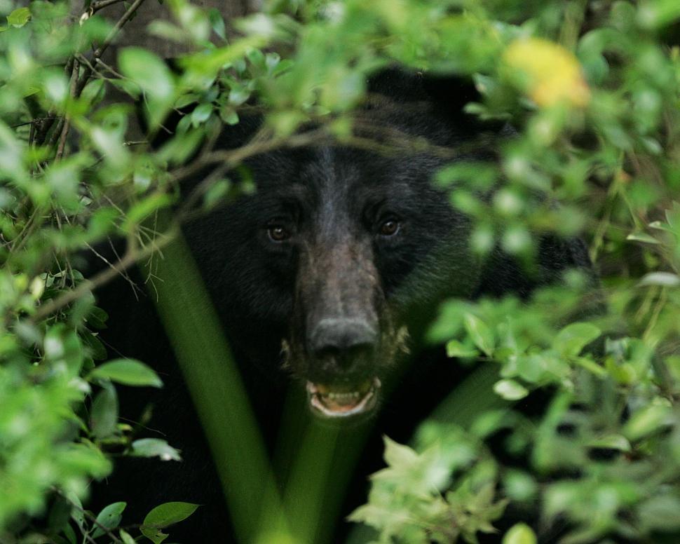 Download Free Stock Photo of bear american black bear sloth bear mammal