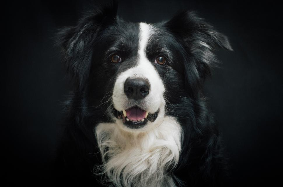Download Free Stock Photo of border collie shepherd dog dog canine domestic animal collie