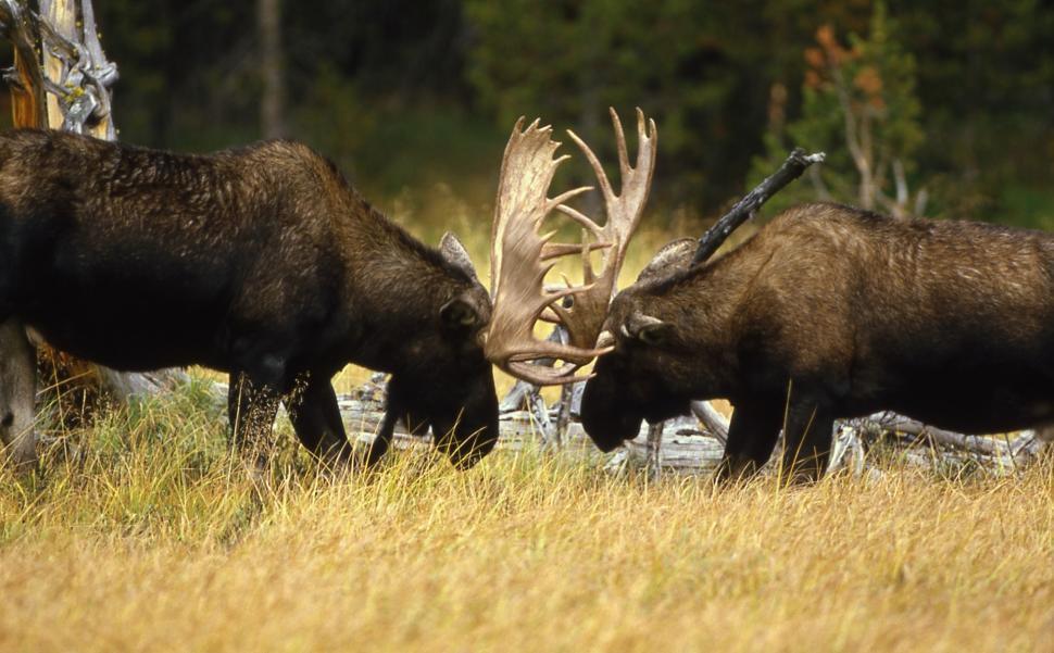 Download Free Stock Photo of bovid bison ruminant ungulate swine wild boar