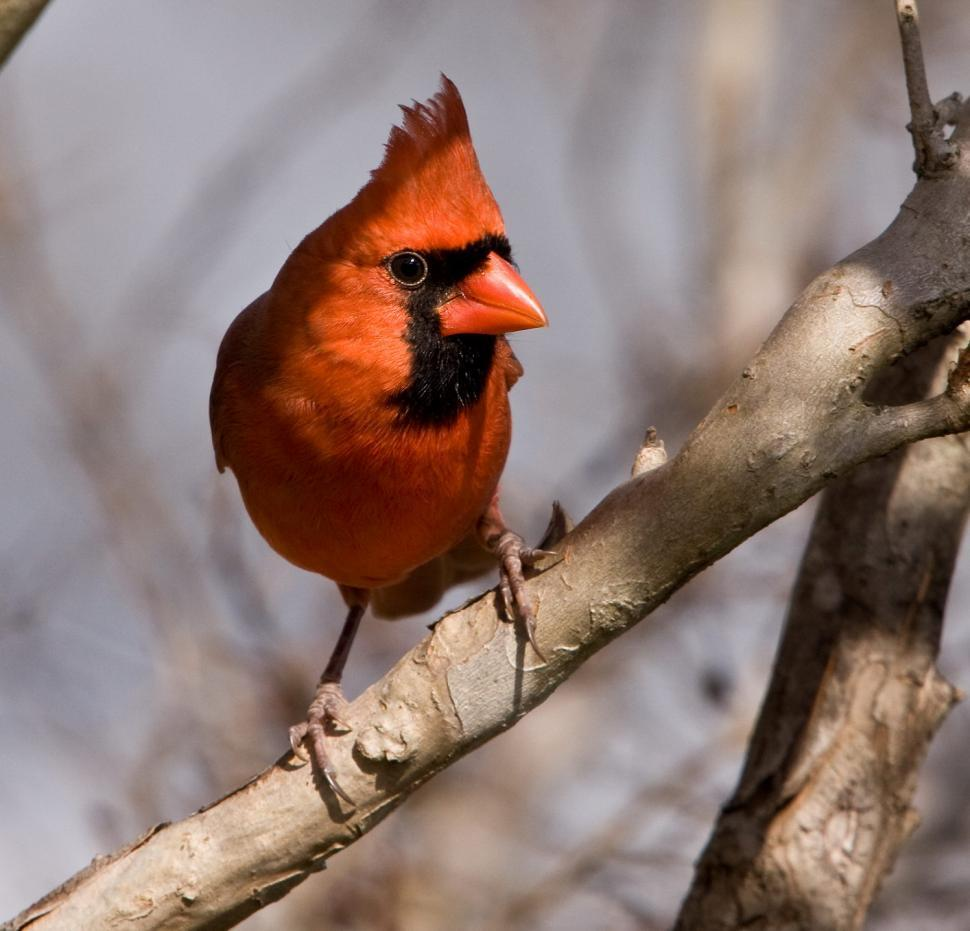 Download Free Stock HD Photo of cardinal Online