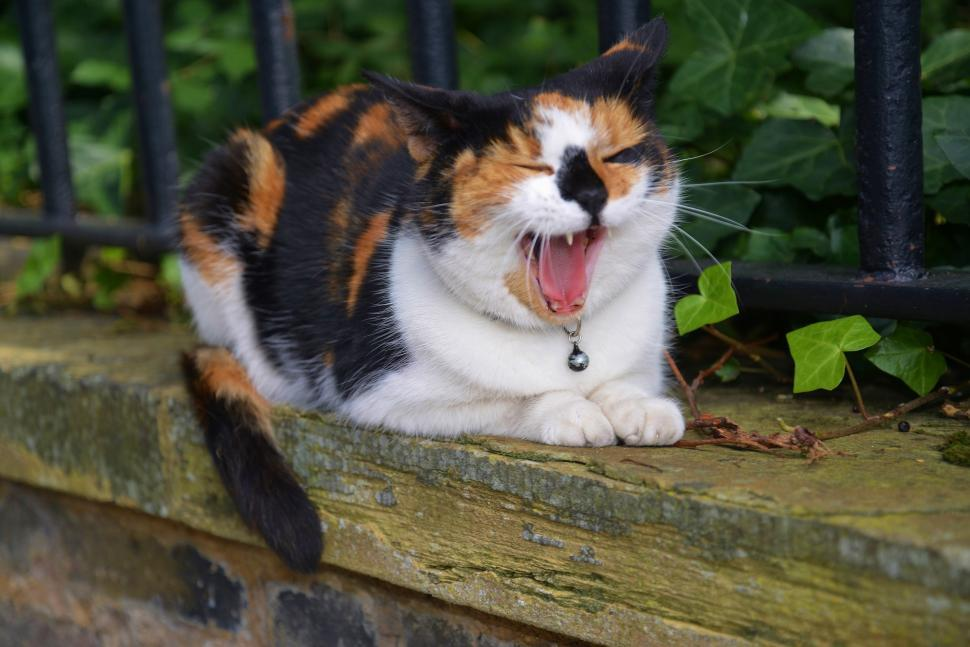 Download Free Stock Photo of feline tiger cat big cat dog animal toy dog papillon domestic animal toy spaniel