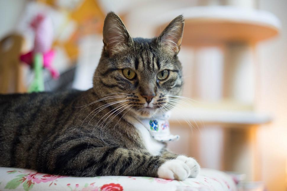 Download Free Stock Photo of cat feline domestic cat animal domestic animal tabby egyptian cat kitten pet fur domestic cute mammal whiskers kitty tiger cat pets eyes furry looking eye portrait animals hair striped face adorable grey breed curious look purebred whisker fluffy