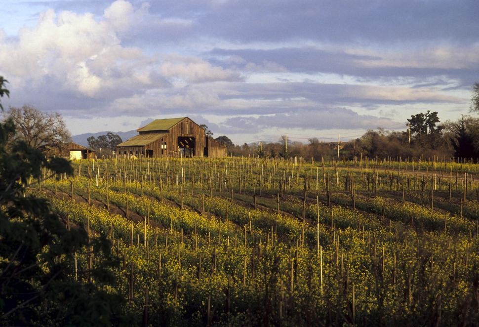 Download Free Stock Photo of vineyards with old barn