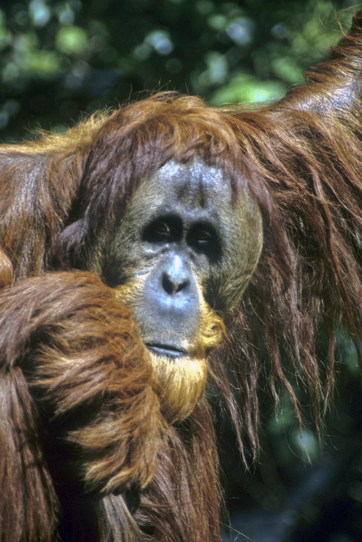 Download Free Stock HD Photo of orangutan Online