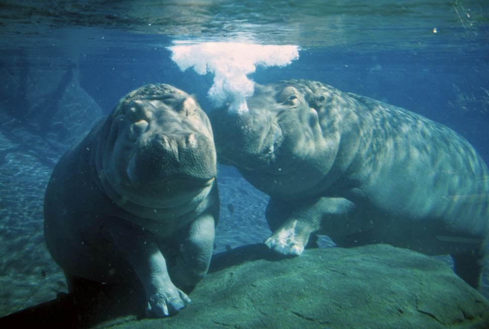 Download Free Stock Photo of underwater hippos