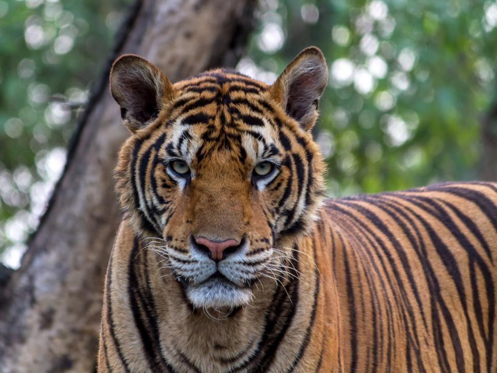 Download Free Stock HD Photo of Bengal Tiger Online