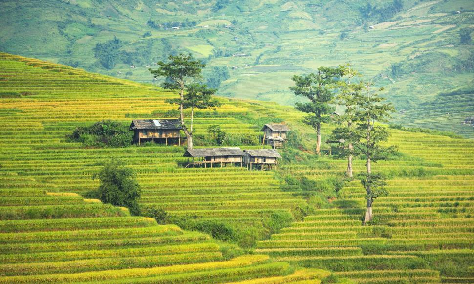 Download Free Stock Photo of Asian Rice Plantation