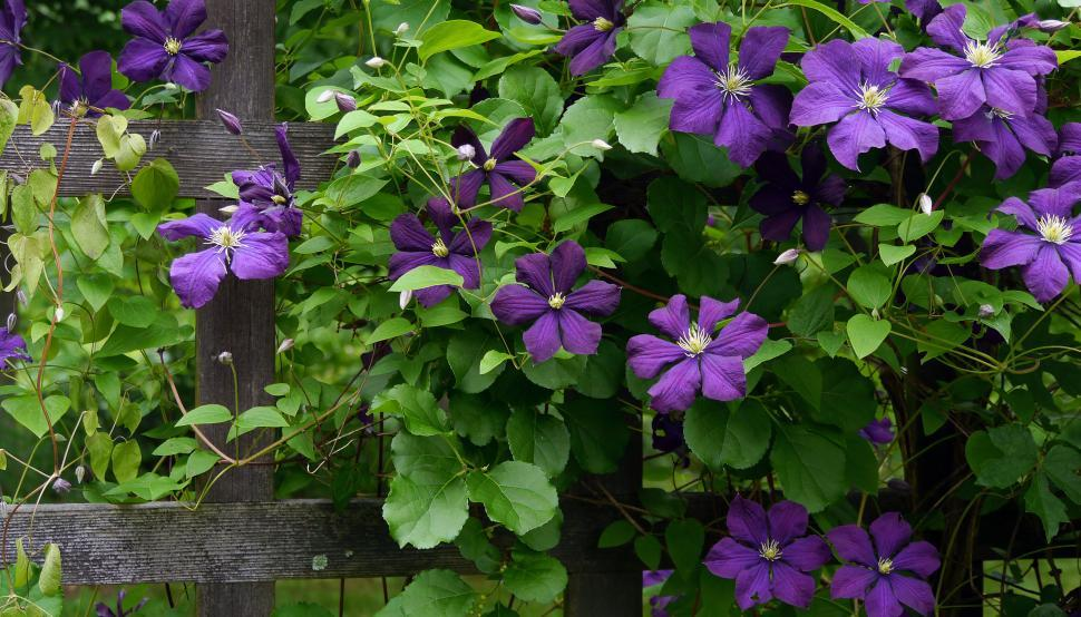 Download Free Stock HD Photo of Many Blooms on Purple Clematis Vine Online