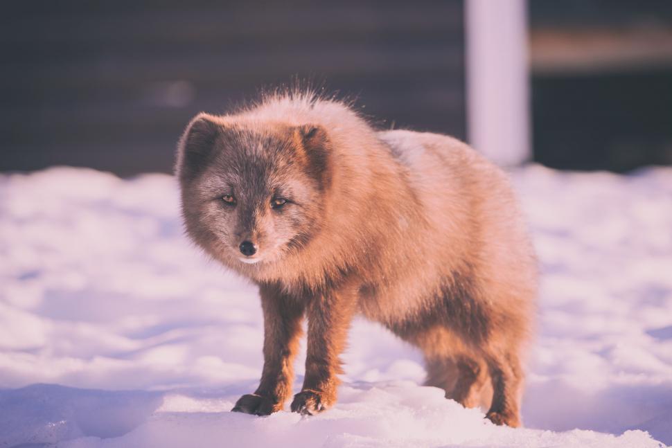 Download Free Stock Photo of spitz canine keeshond dog domestic animal fox arctic fox animal chow