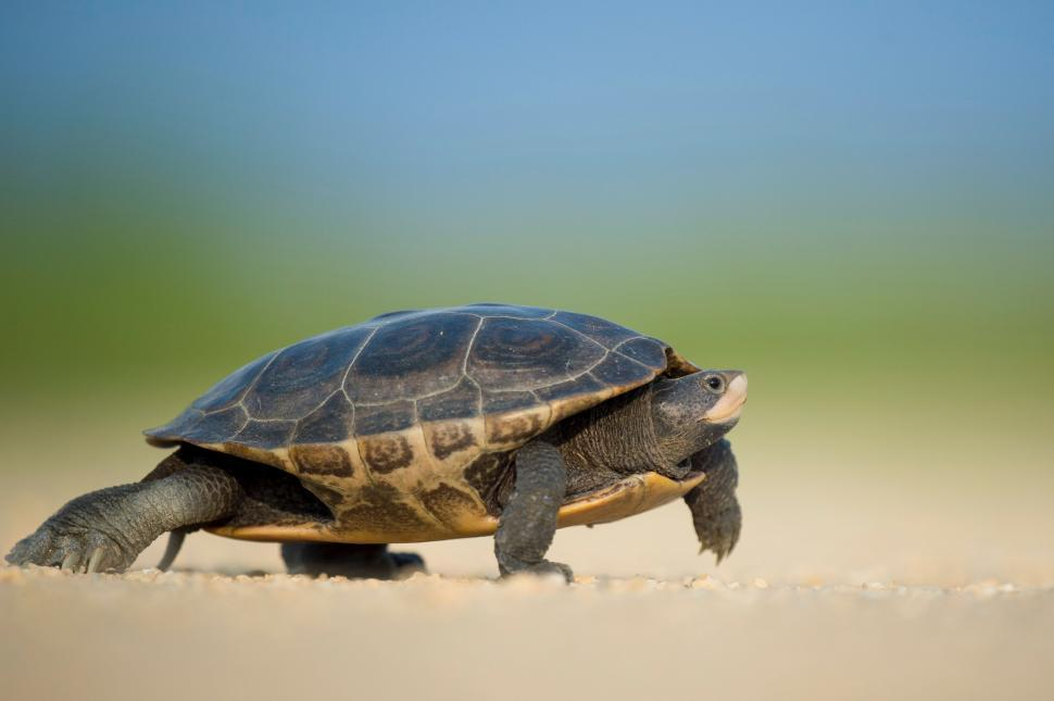 Download Free Stock Photo of Nature turtle mud turtle terrapin reptile