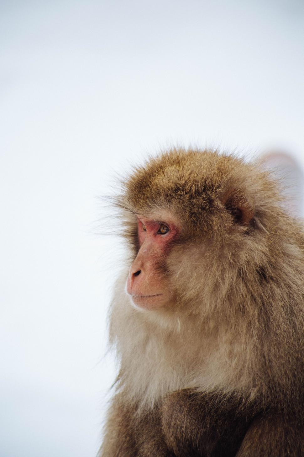 Download Free Stock Photo of macaque monkey primate baboon