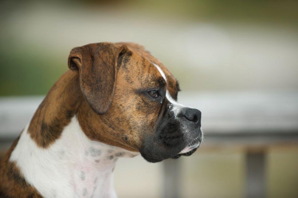 Download Free Stock Photo of dog canine boxer domestic animal animal hunting dog bull mastiff hound redbone pet rhodesian ridgeback