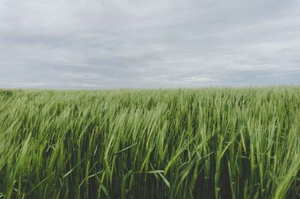Download Free Stock Photo of wheat field cereal grain rural agriculture farm plant grass summer harvest landscape corn crop sky country meadow straw countryside seed farming growth sun season bread cloud grow rice rye food ripe natural land golden barley gold spring stem environment yellow scene horizon agricultural sunny starches farmland dry hay
