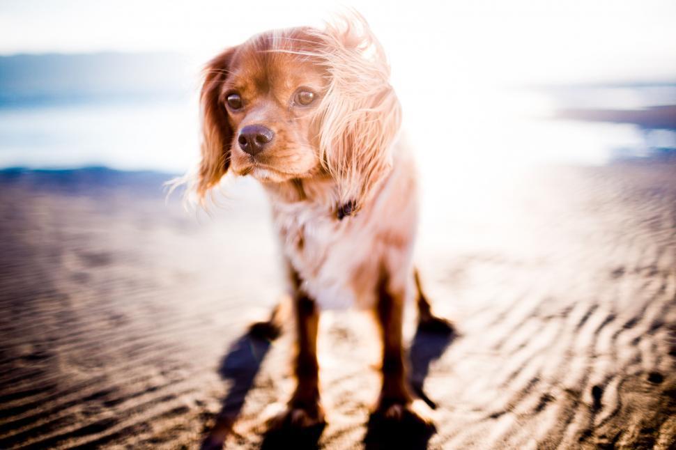 Download Free Stock Photo of retriever sporting dog hunting dog dog golden retriever setter animal canine irish setter pet hound spaniel cute