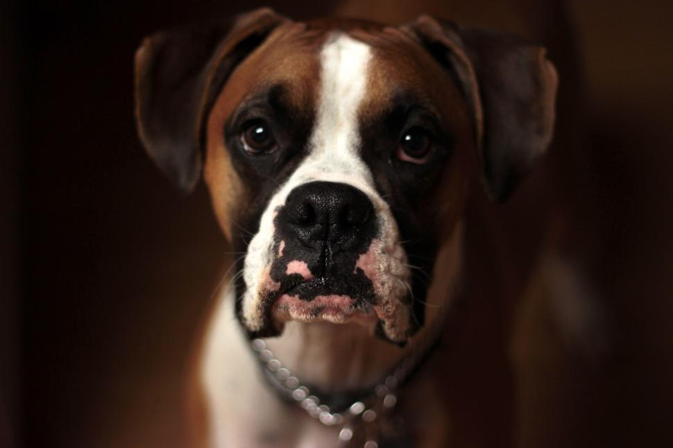 Download Free Stock Photo of dog boxer canine domestic animal animal
