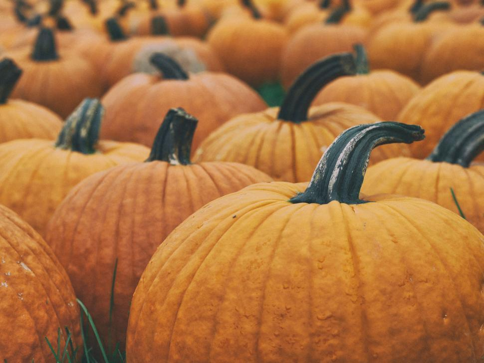 Download Free Stock Photo of pumpkin,  squash,  vegetable,  halloween,  autumn,  orange,  plant,  fall,  produce,  food,  pumpkins,  thanksgiving,  october,  harvest,  holiday,  seasonal,  gourd