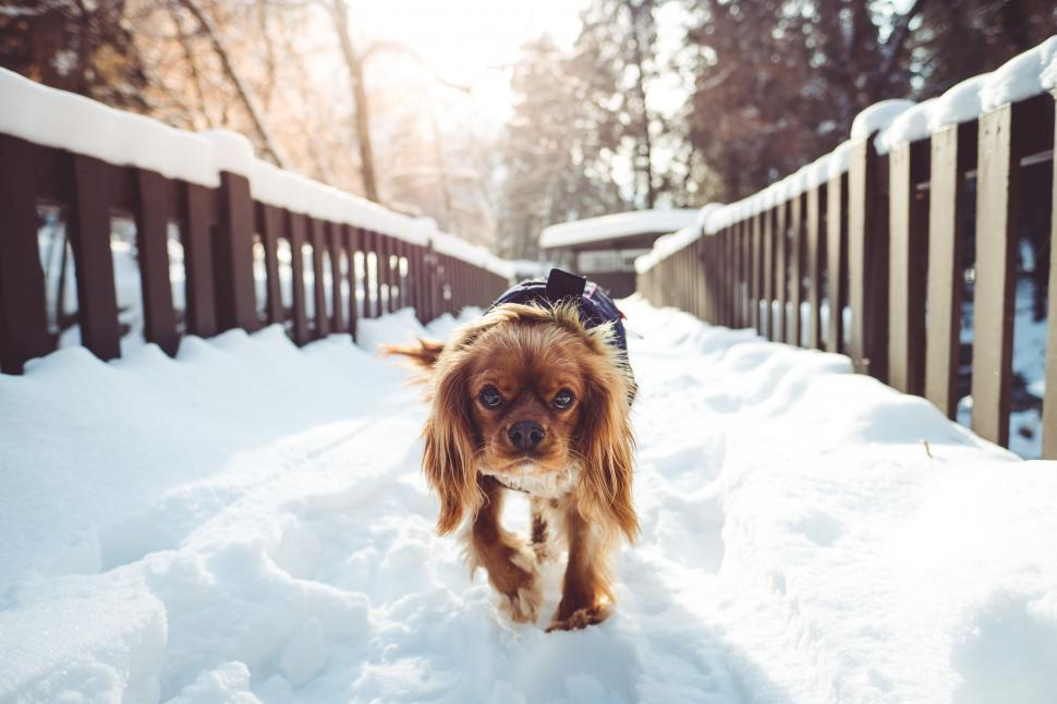 Download Free Stock Photo of sussex spaniel sporting dog spaniel hunting dog dog irish setter