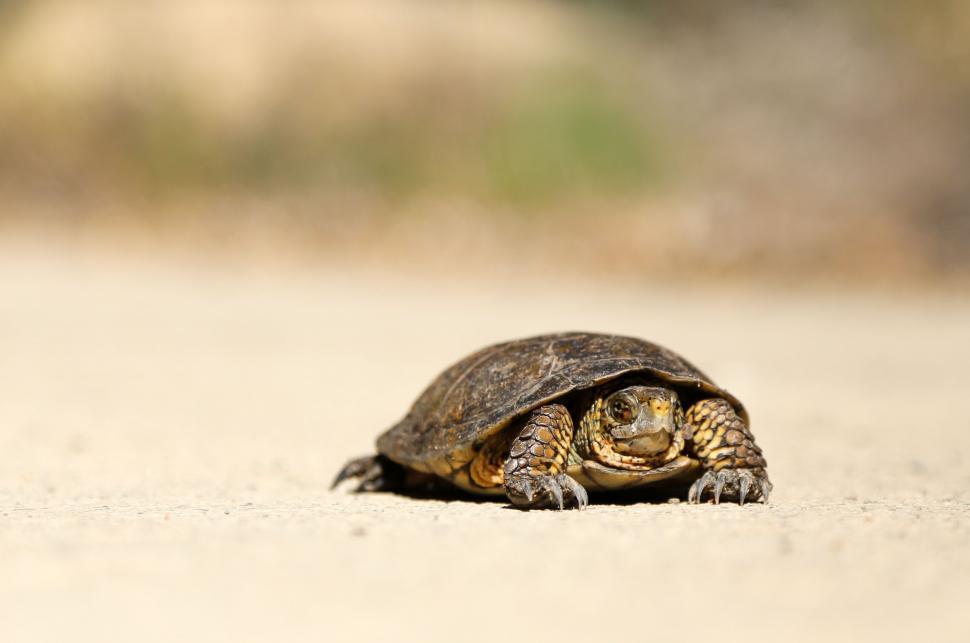 Download Free Stock Photo of turtle mud turtle terrapin reptile